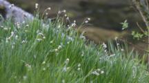 Sedge Grass Next To Water