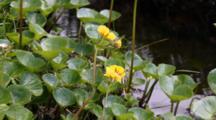 Monkey Flower & Water Background