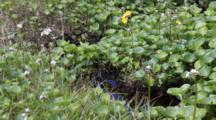 Monkey Flower & Running Water Background