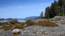 Pan Of Beach Rock, Barnacles, Kelp