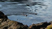 River Otters Swimming Out Into The Water And Diving For Food.