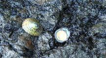 Limpet (China Hat) Intertidal Animal (Top & Bottom View.)