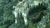 Tree Moss Being Blown By The Wind.