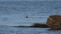 Sea Duck (Male Common Merganser) Diving For Fish.