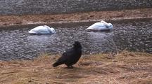 A Raven With Sleeping Once Endangered Trumpeter Swans.