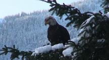 Bald Eagle In A Snow Covered Spruce Tree.