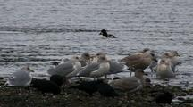 Barrows Goldeneye Ducks, Ravens And Gulls