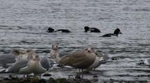 Sea Birds: Barrows Goldeneye Ducks And Gulls