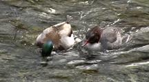 Merganser And Mallards Feeding On Salmon Smolts