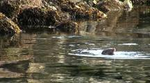 A River Otter Feeding In A Saltwater Estuary