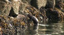 A River Otter Feeding In A Stream Estuary