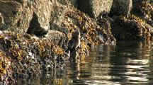 A River Otter Feeding In A River Estuary