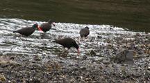Sea Birds: Oystercatcher