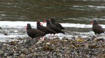Sea Birds: Oystercatchers