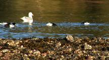 Sea Birds: Barrow's Golden Eye, Ducks, And Gull