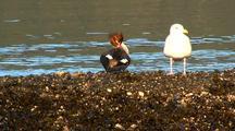 Sea Birds: Merganser And Gull Interacting.