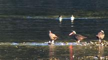 Sea Birds: Oystercatchers And Ducks