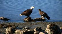 Bald Eagles And Ravens Feeding On A Fresh Winter Kill