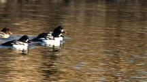 Barrow's Golden Eye Ducks