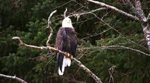 Winter Scene: Bald Eagle In A Alder Tree