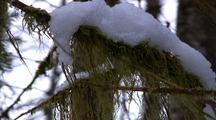 Winter Scene: Snow Collecting On Tree Moss