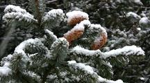 Snow Storm, Snow Falls On Spruce Branches