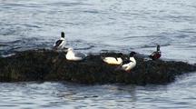 Sea Birds (Mergansers)