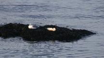 A Gull And Merganser Share A Small Island