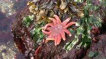 Sun Star Fish, Fucus Kelp And Green & Black Seaweed