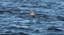 Sea Lions: Sitka Sound Sac Roe Herring Fishery