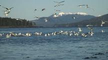 Gulls Chase Schools Of Spawning Herring