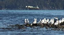 Gulls Gather For The Sitka Sound Sac Roe Herring Fishery