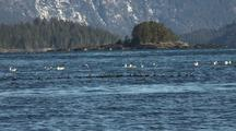 Surf Scooters & Gulls Gather For The Sitka Sound Sac Roe Herring Fishery