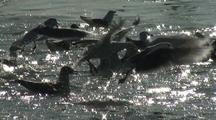 Gulls Chase Spawning Herring