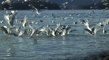 Gulls Chase Spawning Herring.