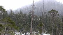 Falling Snow In The Alpine Muskeg