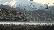 Sea Birds Feast On Herring During The Sitka Sound Sac Roe Herring Fishery
