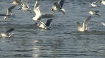 Sea Birds Chase, Catch Herring