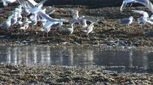 Sea Birds Feed On Herring Trapped By A Dropping Tide.