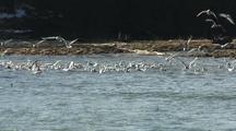 Sea Birds Chase Schools Of Spawning Herring