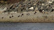 Bald Eagles Feed On Herring Eggs That Have Been Deposited On A Beach.