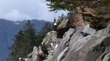 Bald Eagle & Ravens On A Rocky Cliff