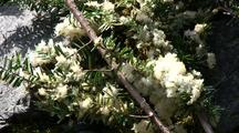 Herring Eggs Deposited On Hemlock Tree Branches: Sitka Sound Herring Fishery