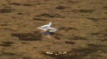 Shore Bird: Lesser Yellowlegs