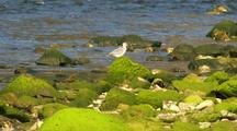 Shore Bird: Lesser Yellowlegs Walks Across Rocks Covered With Green Algae