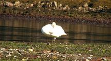 Beach At Low Tide: Sleeping Trumpeter Swan & Squirting Clams
