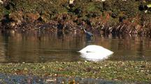 Beach At Low Tide: Herons, Trumpeter Swan, Bufflehead Ducks