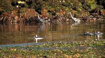 Beach At Low Tide: Great Blue Heron And  Bufflehead Ducks