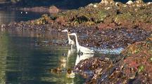 Beach At Low Tide: Great Blue Herons