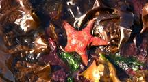 Tide Pool:: Green Seaweed, Ulva, And A Leather Star